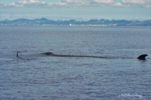 Baleia Sardinheira / Sei Whale