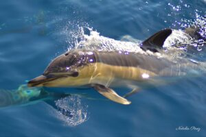 Golfinho Comum / Common Dolphin